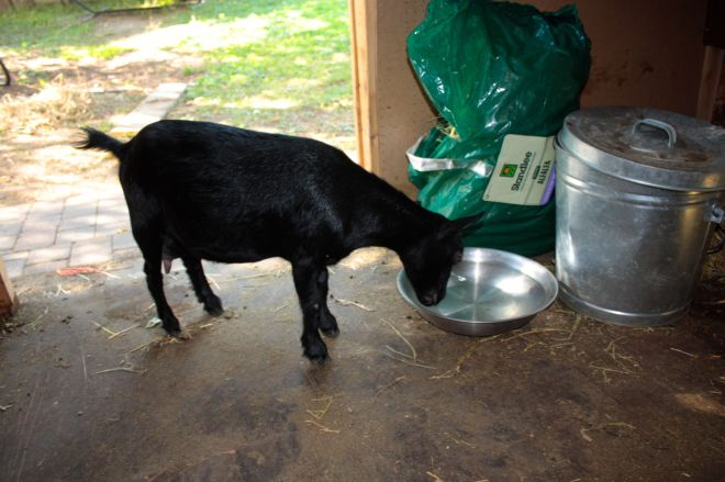 Luna steps into the barn for some water.