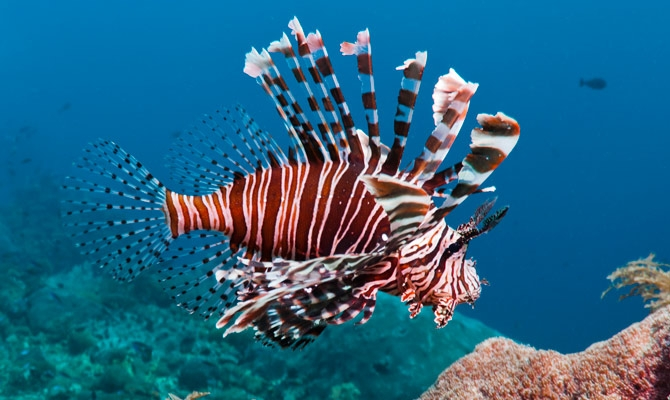 Top 10 Most Dangerous Fish: Lionfish