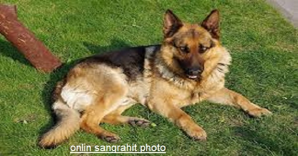 german shepherd dog missing report in hadpsar-police-station