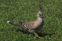 Un pigeon punk!