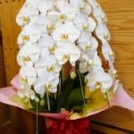 お世話になっているお酒屋さんから素晴らしい胡蝶蘭が届きました。大きすぎてお名前のプレートが見えず…ありがとうございました!!