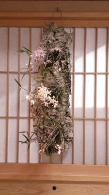 木のうろにセッコクというお花を植えこんであります。 お客様が丹精込めて育てているセッコク。ぜひご覧くださいね。