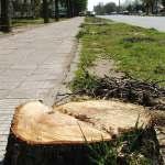 След като изрязаха над 100 дървета по Главната, от общината не засадиха нито едно