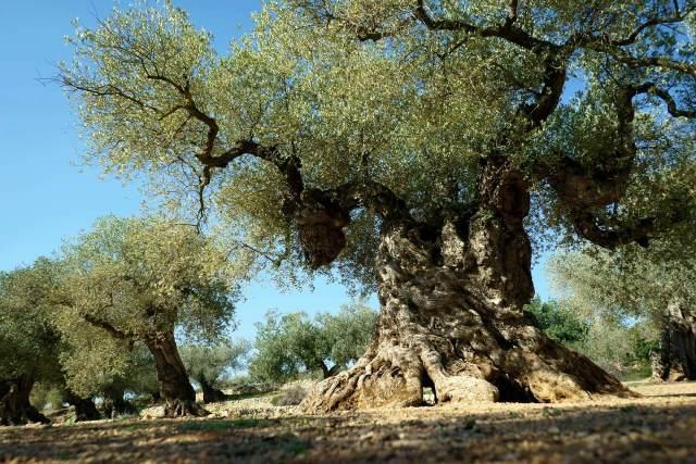সুপ্রাচীন যাইতুন বৃক্ষ- jaitun tree