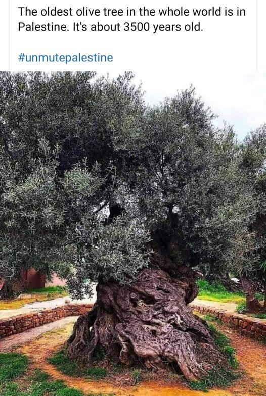 oldest olive tree of the world from palestine