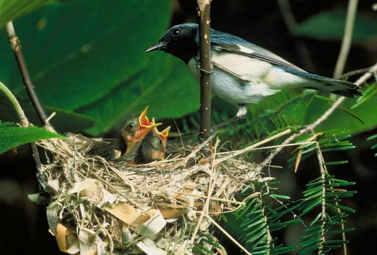 ציפור מאכילה גוזלים