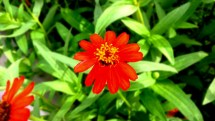 redflower