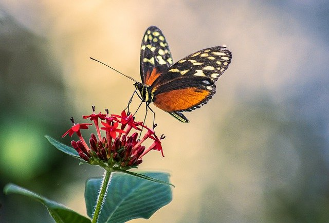 Butterfly Insect Wings Antennae  - minka2507 / Pixabay