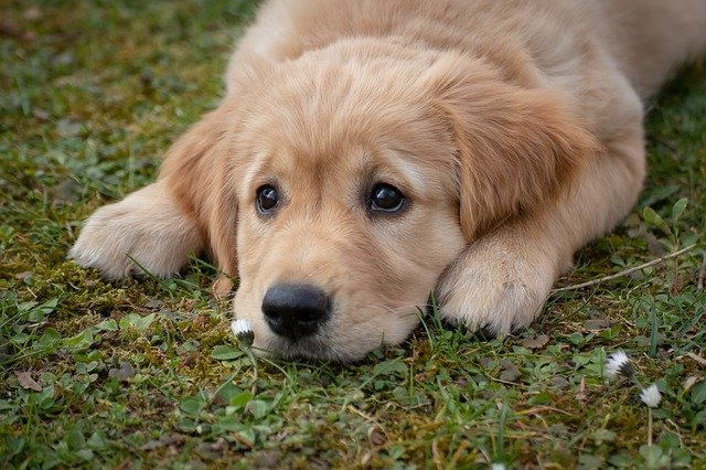 Dog Puppy Golden Retriver  - birgl / Pixabay