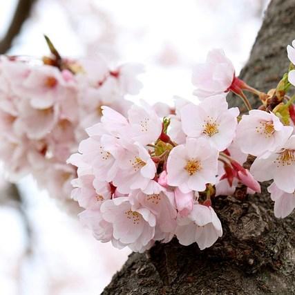 Cherry Blossoms Flowers Blossom  - manseok_Kim / Pixabay
