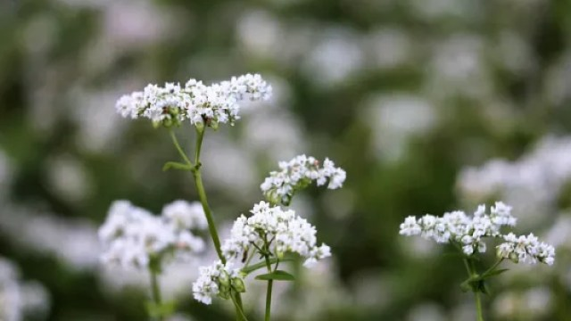 Buckwheat Fagopyrum Esculentum  - GoranH / Pixabay