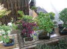 Bonsai trees for sale