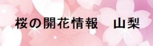 桜の開花情報山梨