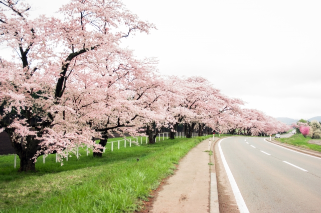 小岩井農場 桜