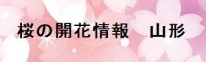 桜の開花情報山形