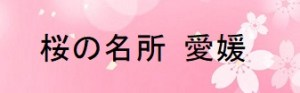 桜の開花情報 愛媛