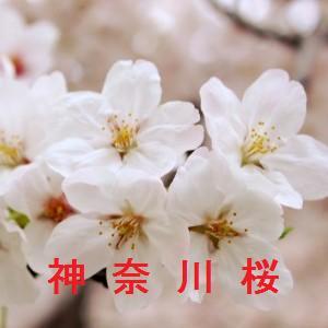 神奈川の桜情報