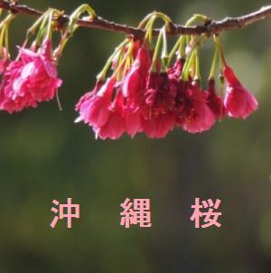 沖縄の桜情報