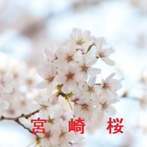 宮崎の桜情報