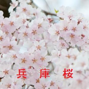兵庫の桜情報