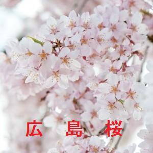 広島の桜情報