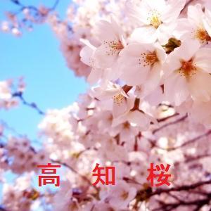 高知の桜情報