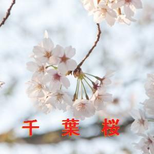 千葉の桜情報