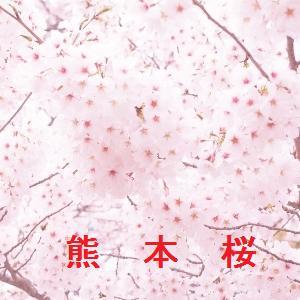 熊本の桜情報