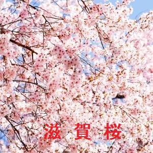 滋賀の桜情報