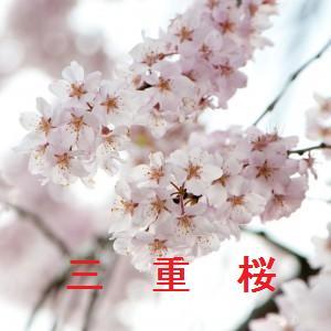 三重の桜情報
