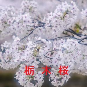 栃木の桜情報