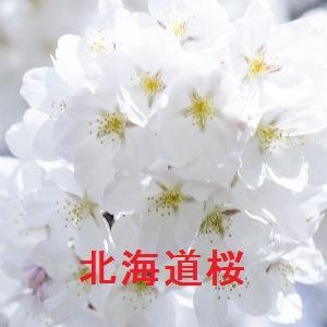 北海道の桜情報