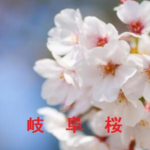 岐阜の桜情報