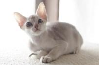 シンガプーラの仔猫