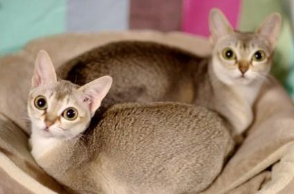 シンガプーラの仲良し親子 Singapura Cat