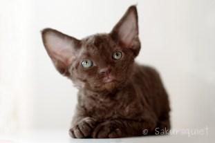 デボンレックスの仔猫 チョコレート Devon Rex Kittens
