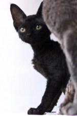 デボンレックスKIKIの仔猫 ブラック♂ Devon Rex Kitten Black