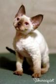 デボンレックスKIKIの仔猫 シールポイント♂ Devon Rex Kitten Seal point