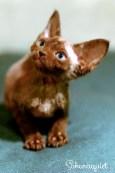 デボンレックスKIKIの仔猫 チョコレート♂ Devon Rex Kitten Chocolate
