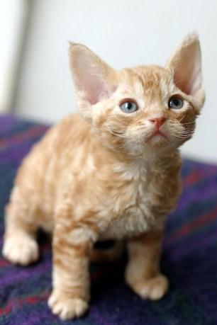 デボンレックスの仔猫 Devon Rex Kitten