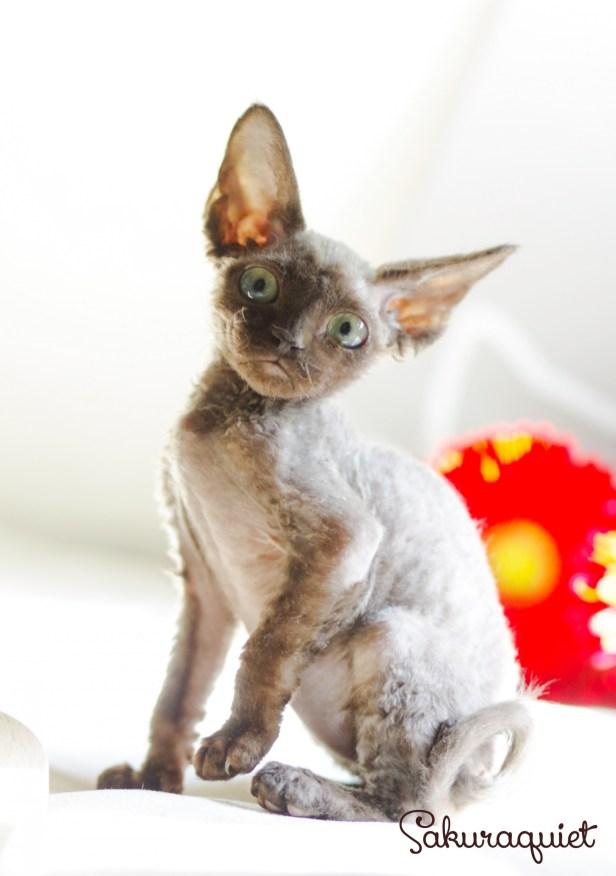 デボンレックスの仔猫 チョコレート Devon Rex Chocolate Kitten