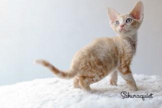 デボンレックスSNIPの仔猫 レッドクラシックタビー&ホワイト♂ Devon Rex Kitten RedClassicTabby&White