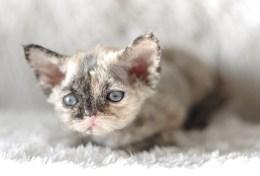 デボンレックスMEKOREの仔猫 トーティー♀ Devon Rex Kitten Tortie