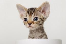 デボンレックスKIKIの仔猫 ブラウンマッカレルタビーメスDevon Rex Kitten BrownMackerelTabby