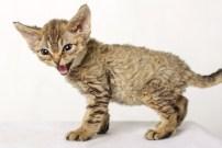 デボンレックスCATERINAの仔猫 ブラウンマッカレルタビー♀ Devon Rex Kitten BrownMackerelTabby