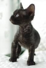 デボンレックスKIKIの仔猫 ブラックメス Devon Rex Kitten Black