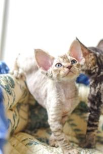 デボンレックスSNIPの仔猫 マッカレルトービー♀ Devon Rex Kitten MackrelTorbie