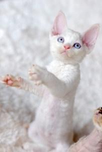 デボンレックスSNIPの仔猫 レッドリンクスポイント/ホワイト