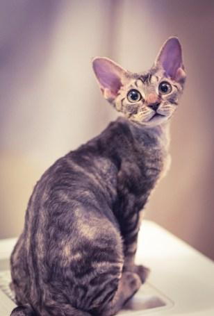 デボンレックスKIKIの仔猫 ブラウンクラシックタビーメス Devon Rex Kitten BrownClassicTabby