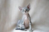 デボンレックスCATERINAの仔猫 ブラウンマカkレルタビーオス Devon Rex Kitten BrownMackerelTabby